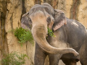 635673178934873914-asianelephant-packy_454657_ver1-0